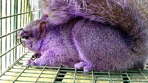Did the Mysterious Purple Squirrel Visit a Portable Restroom Trailer?